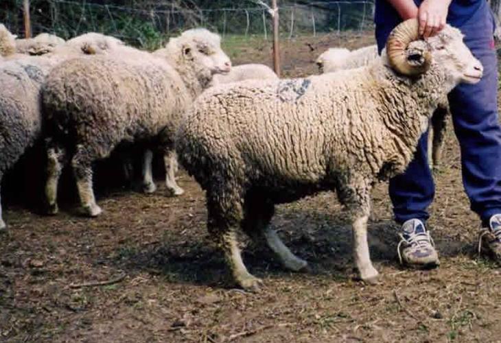 Montone e pecora sopravissani