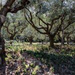 Azienda Agricola Franco Persicorossi - oliveto