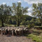 Azienda Agricola Giovanni Angeli - bestiame