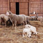 Azienda Agricola La Sopravissana dei Sibillini - pecore
