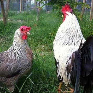 Pollo Livorno